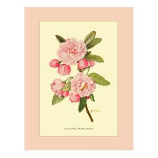 Crab Apple Tree Blossoms Postcard