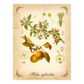 Crab apple - vintage illustration postcard