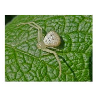 Crab Spider Postcard