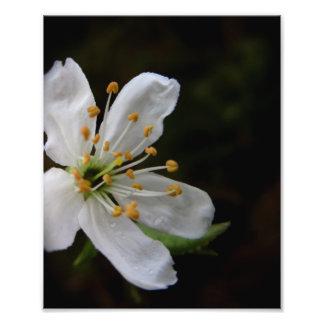 Crabapple Blossom Photo Print