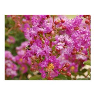 Crape Myrtle Blossoms Postcard