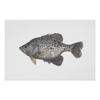 Crappie Poster