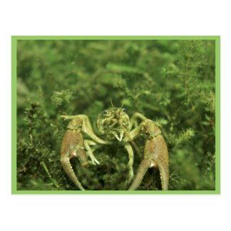 Crayfish Postcard