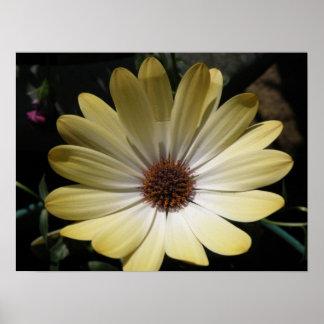 Cream African Rain Daisy Poster