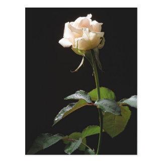 Cream-color rose on the dark background postcard