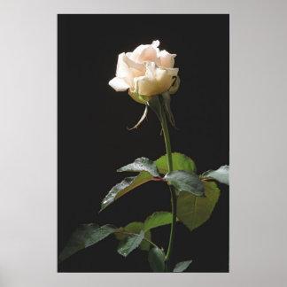 Cream-color rose on the dark background print