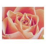 Cream Pink Rose Poster