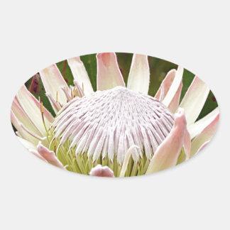Cream Protea flower in bloom Oval Sticker