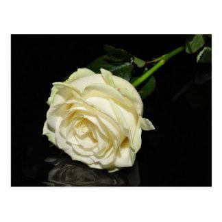 Cream Rose Postcard