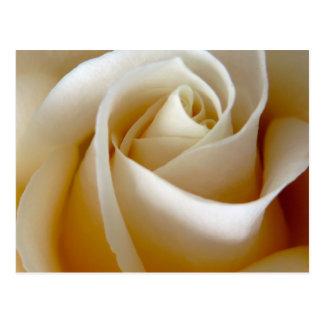 Cream Rose Wedding Photo Postcard