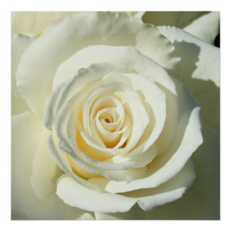 Cream White Rose - Poster