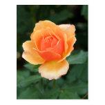 Creamy Orange Modern Rose Postcard