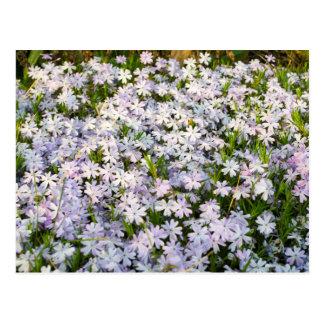 Creeping Phlox Flowers Postcard