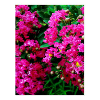 Crepe Myrtles Postcard