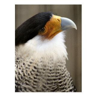 Crested Caracara Bird Photo Postcard