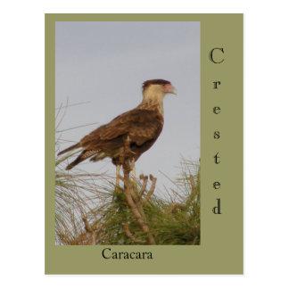 Crested Caracara Postcard