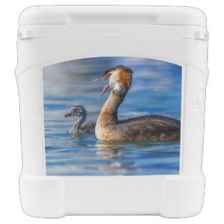 Crested grebe, podiceps cristatus, duck and baby cooler