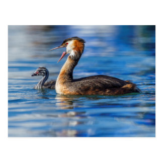 Crested grebe, podiceps cristatus, duck and baby postcard