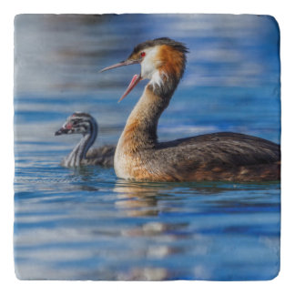 Crested grebe, podiceps cristatus, duck and baby trivet