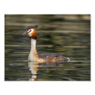 Crested grebe, podiceps cristatus, duck photo print