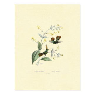 Crested Hummingbirds Postcard