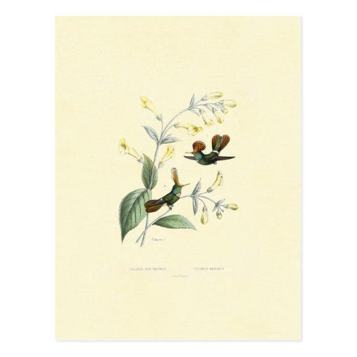 Crested Hummingbirds Postcards