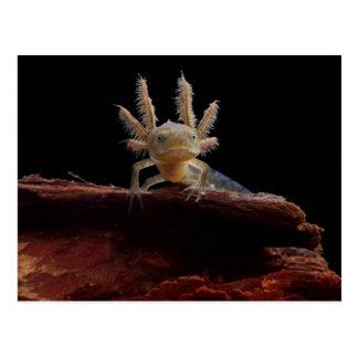 Crested newt larve postcard