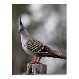 CRESTED PIGEON IN RURAL QUEENSLAND AUSTRALIA POSTCARD