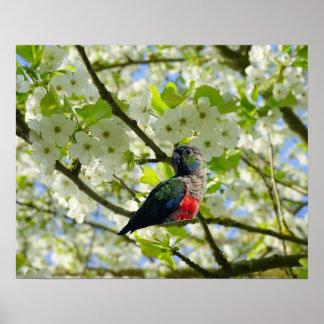 Crimson Bellied Parakeet Poster