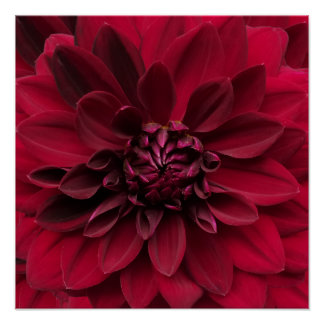Crimson Red Dahlia Art - Arabian Night Flower Poster