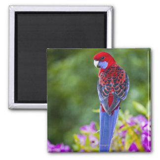Crimson Rosella & backdrop of orchids Lamington Square Magnet