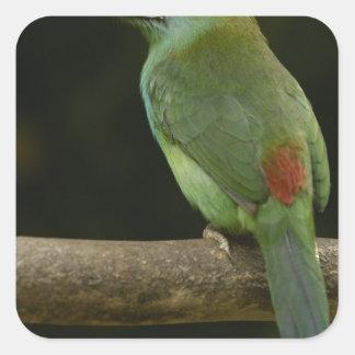 Crimson-rumped Toucanet bird Aulacorhynchus Square Sticker