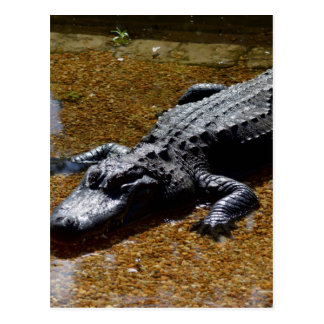 Crocodile Postcard