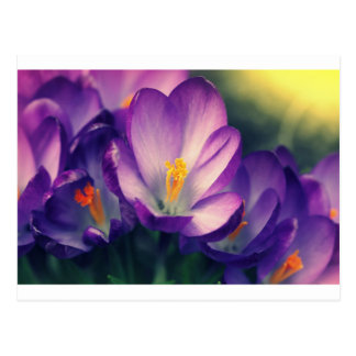 Crocus  flower. Spring background. Postcard