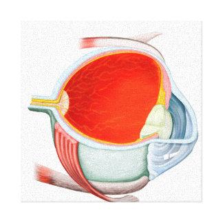 Cross Section Of Human Eye Canvas Print