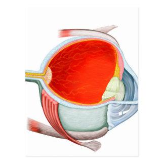 Cross Section Of Human Eye Postcards
