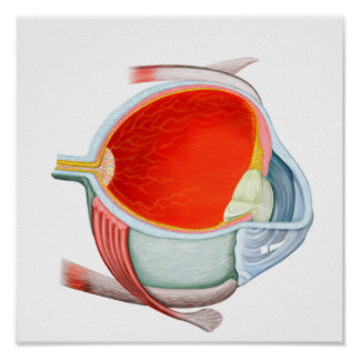 Cross Section Of Human Eye Posters