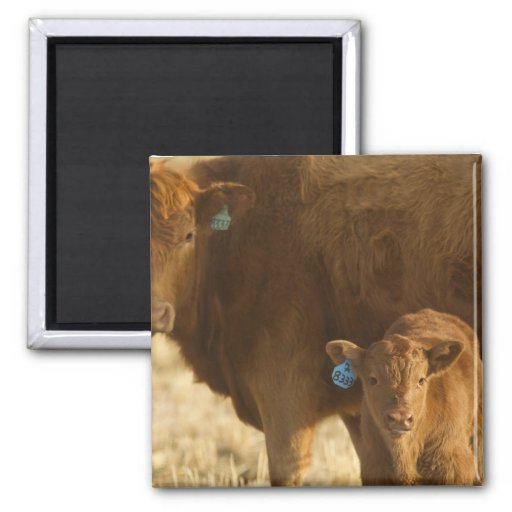 Crossbred cow with calf near Choteau, Montana, Magnets