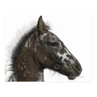 crossbreed Foal between a Appaloosa and a Postcard