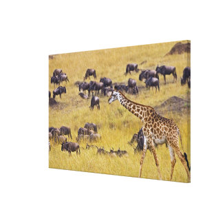 Crossing of the Mara River by Giraffes and Stretched Canvas Print