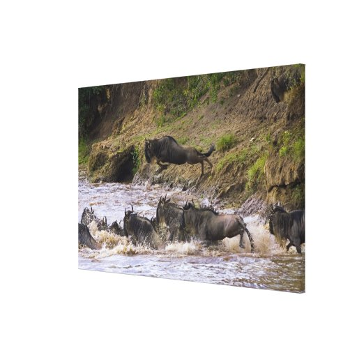 Crossing of the Mara River by Zebras and Stretched Canvas Prints