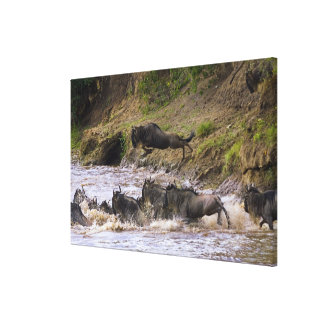 Crossing of the Mara River by Zebras and Stretched Canvas Print