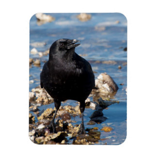 Crow Wading in Salt Water at Twanoh State Park Magnet
