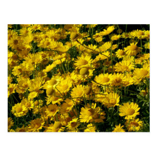 Crown Daisies / Chrysanthemum Coronarium Postcard