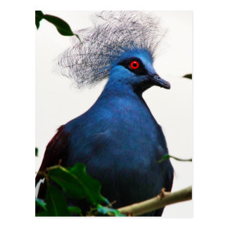 Crowned Pigeon Postcard