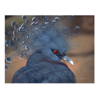 crowned pigeon postcard