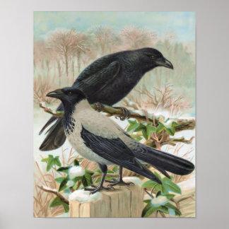 Crows Vintage Bird Illustration Poster