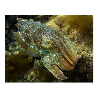 Cruising Giant Australian Cuttlefish Postcard