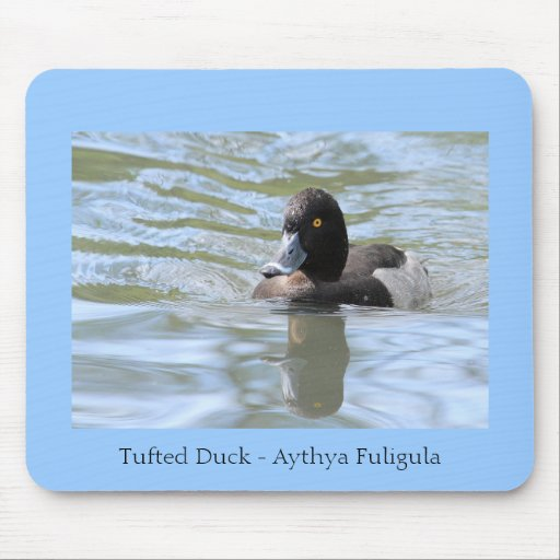 Cruising Tufted Duck Mouse Pads