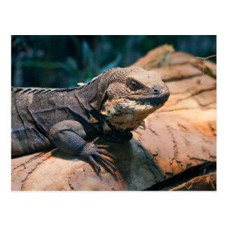 Ctenosaura melanosterna postcard